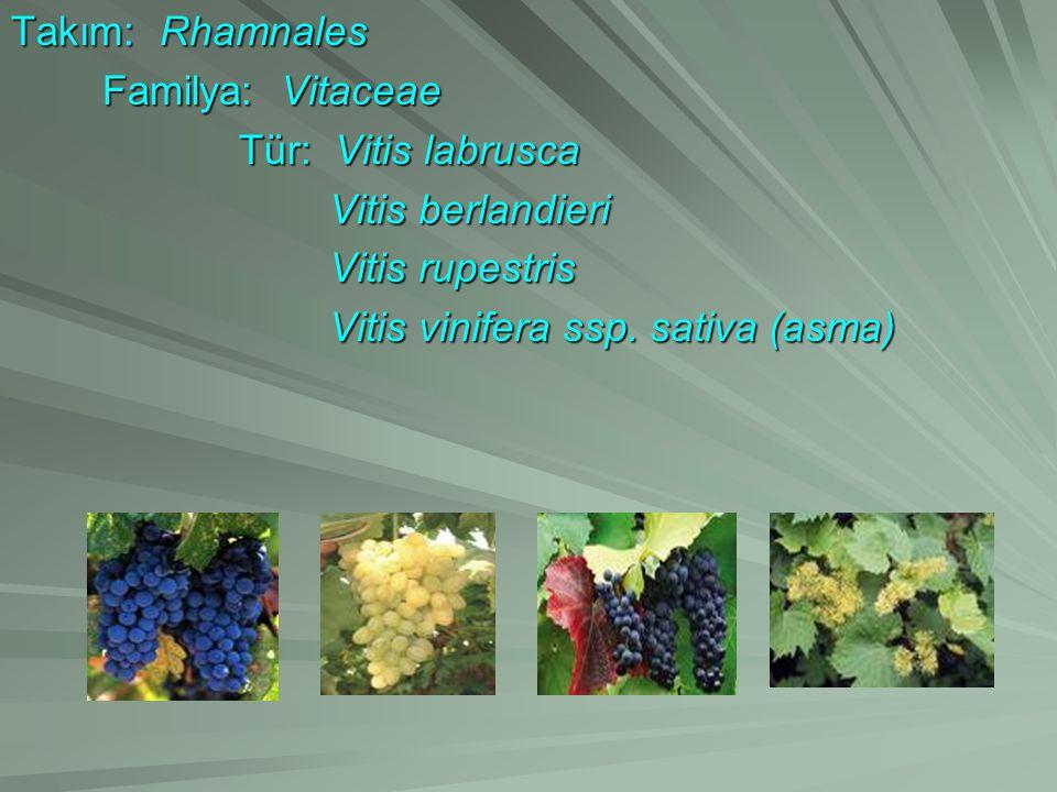 Takım: Rhamnales Familya: Vitaceae. Tür: Vitis labrusca.