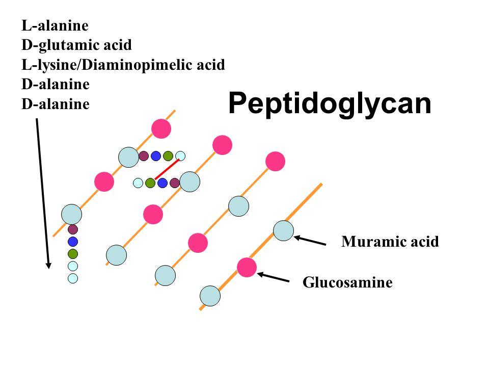 Peptidoglycan L-alanine D-glutamic acid L-lysine/Diaminopimelic acid