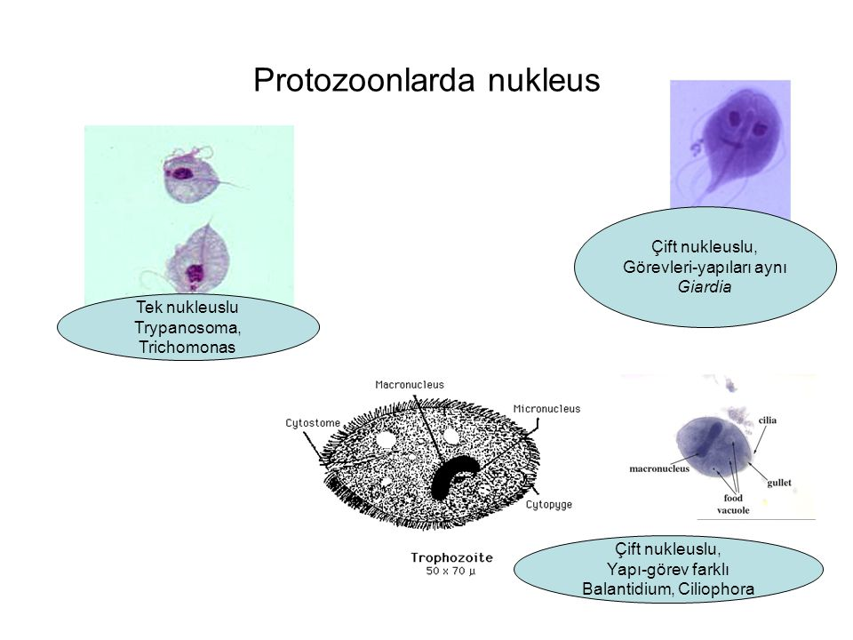 Protozoonlarda nukleus