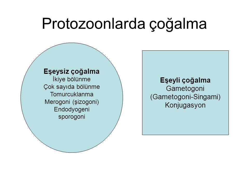 Protozoonlarda çoğalma