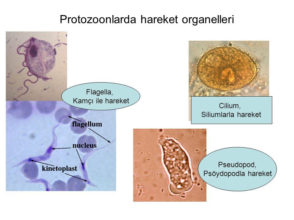 Protozoonlarda hareket organelleri