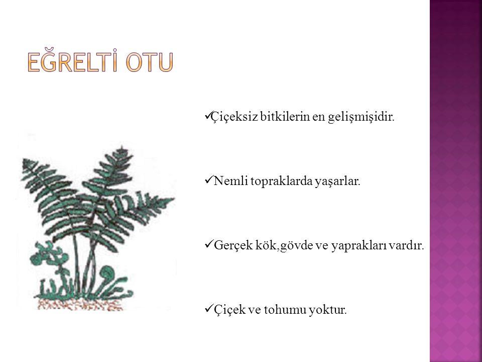 EĞRELTİ OTU Çiçeksiz bitkilerin en gelişmişidir.