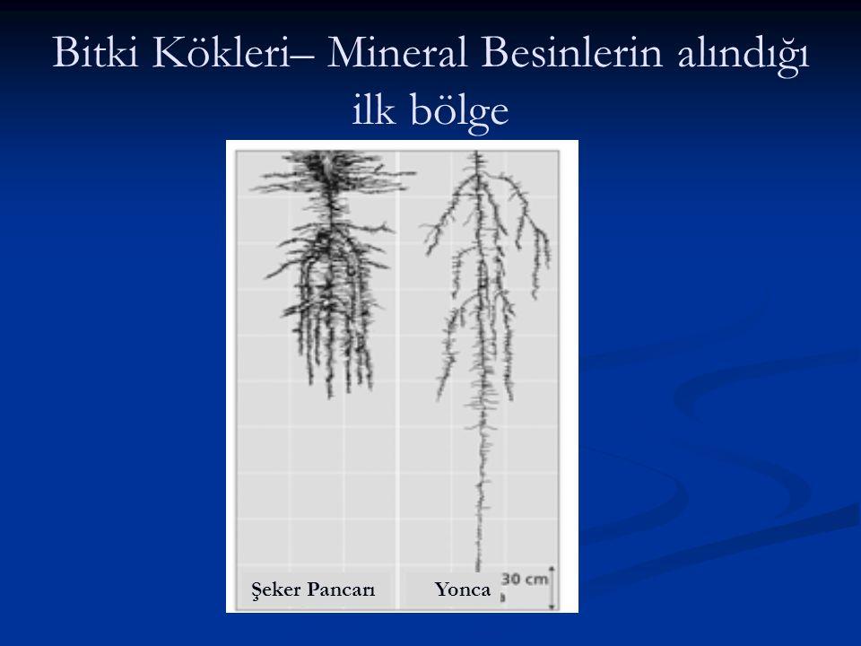 Bitki Kökleri– Mineral Besinlerin alındığı ilk bölge