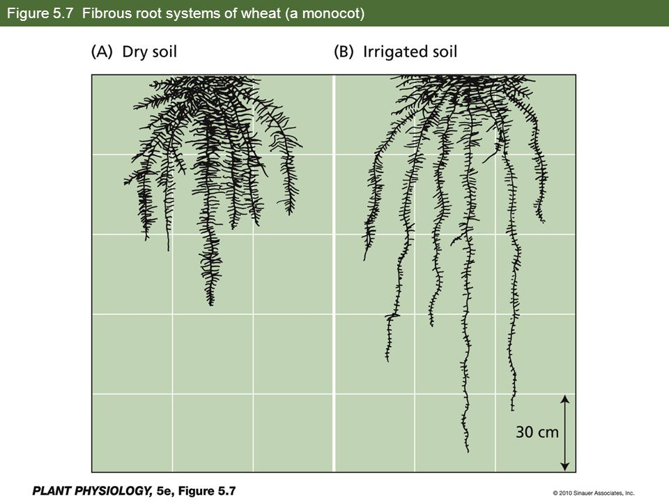 Figure 5.7 Fibrous root systems of wheat (a monocot)