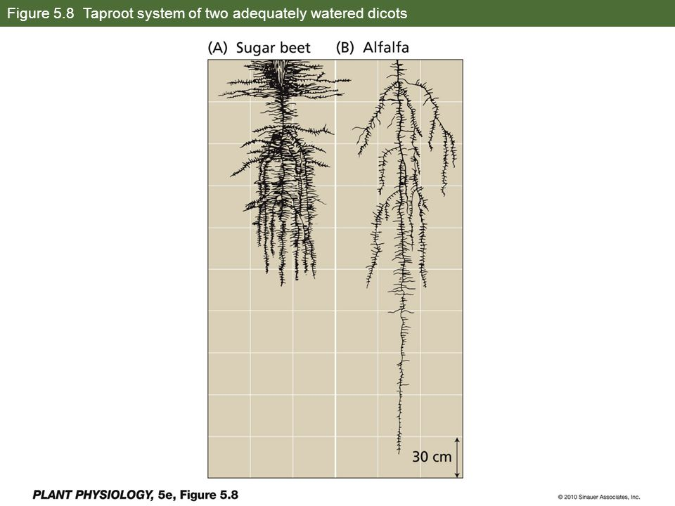 Figure 5.8 Taproot system of two adequately watered dicots