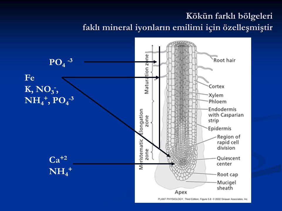 Kökün farklı bölgeleri faklı mineral iyonların emilimi için özelleşmiştir