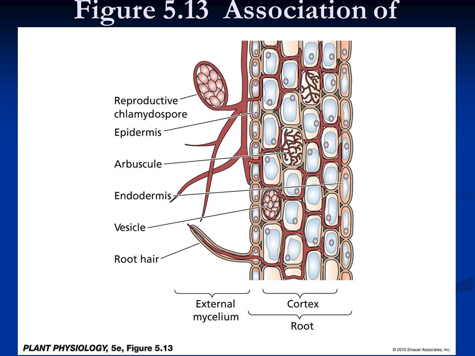 Figure 5.13 Association of arbuscular mycorrhizal fungi with a section of a plant root