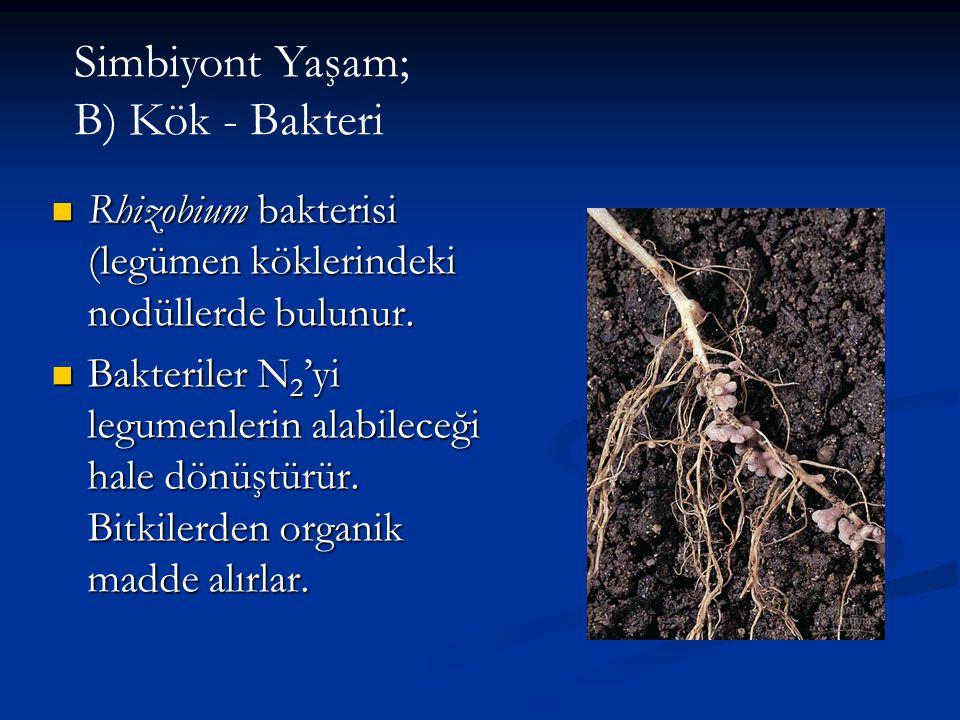 Simbiyont Yaşam; B) Kök - Bakteri