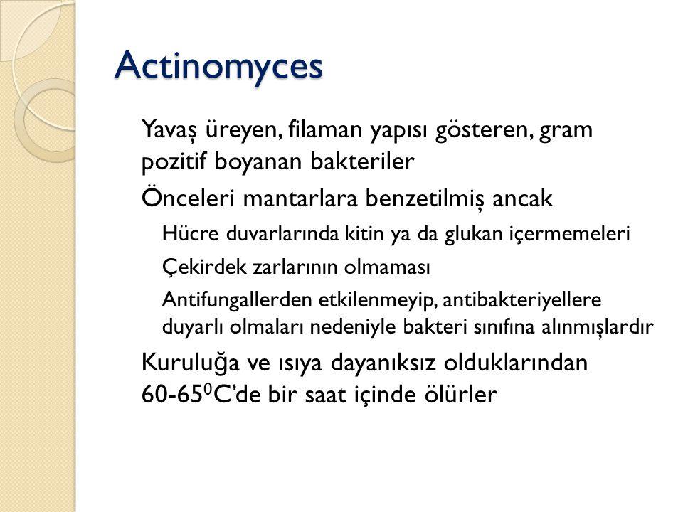 Actinomyces Yavaş üreyen, filaman yapısı gösteren, gram pozitif boyanan bakteriler. Önceleri mantarlara benzetilmiş ancak.