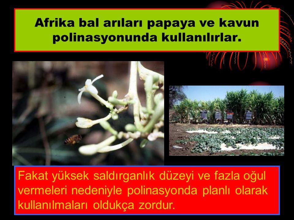 Afrika bal arıları papaya ve kavun polinasyonunda kullanılırlar.