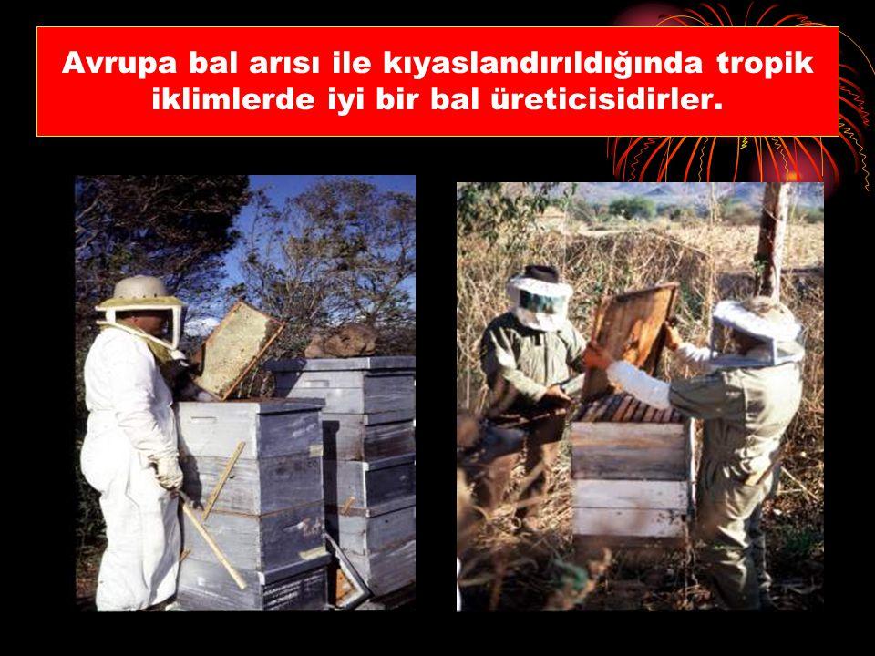 Avrupa bal arısı ile kıyaslandırıldığında tropik iklimlerde iyi bir bal üreticisidirler.