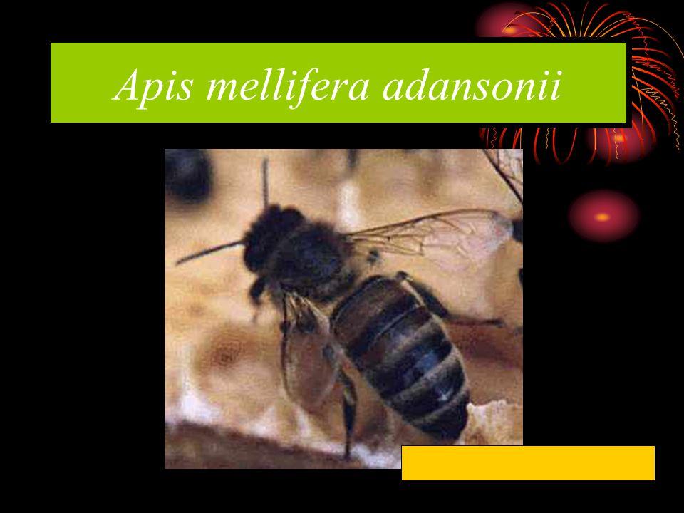 Apis mellifera adansonii