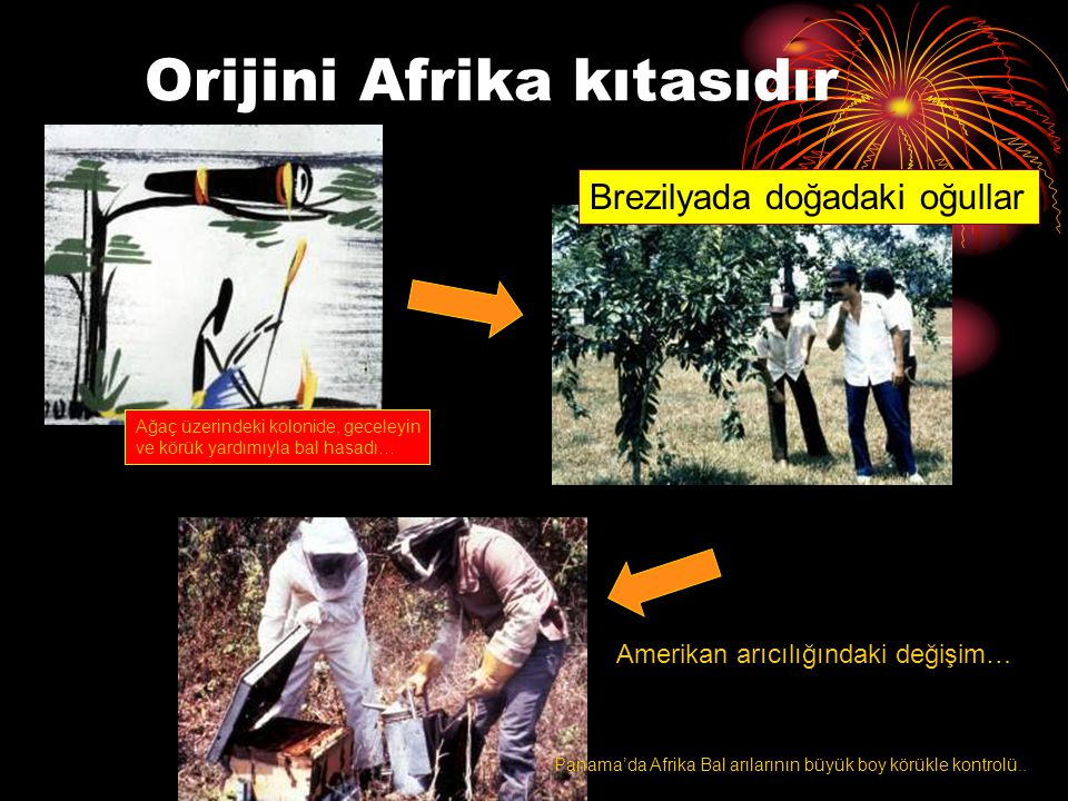 Orijini Afrika kıtasıdır