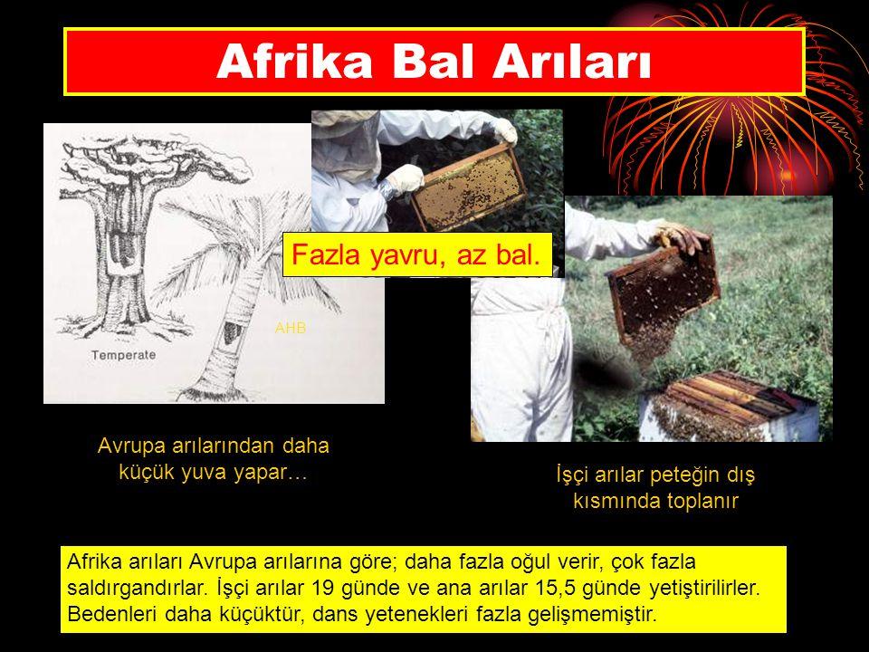 Afrika Bal Arıları Fazla yavru, az bal.