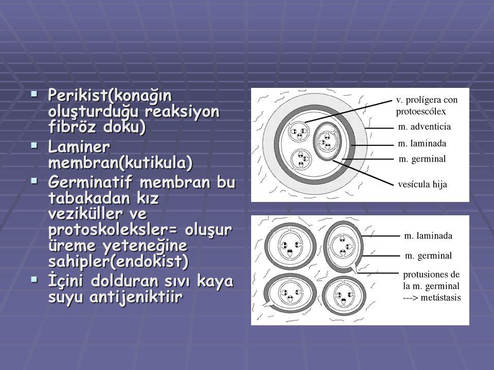 Perikist(konağın oluşturduğu reaksiyon fibröz doku)