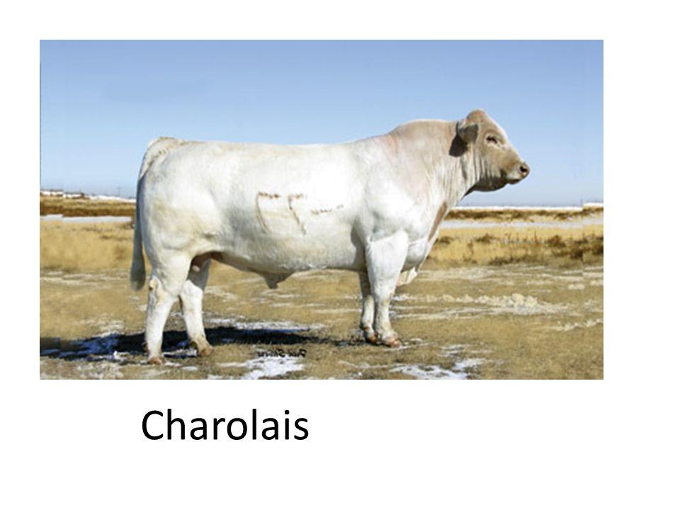 Charolais 18