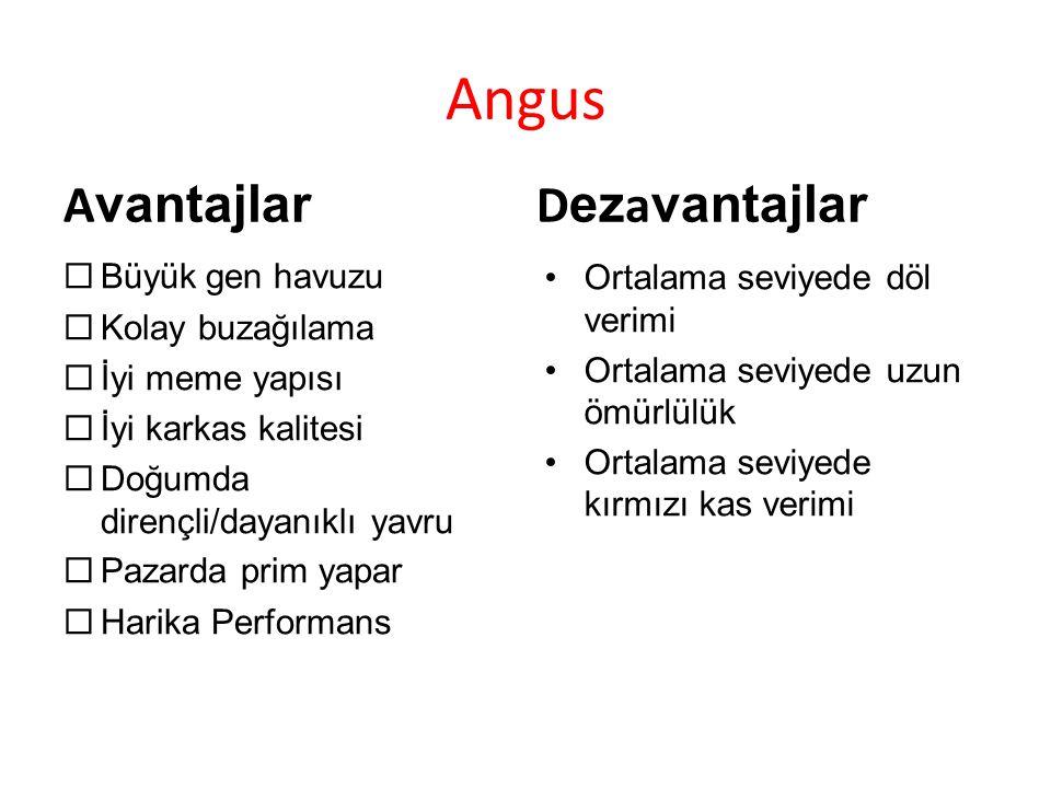 Angus Avantajlar Dezavantajlar Büyük gen havuzu Kolay buzağılama