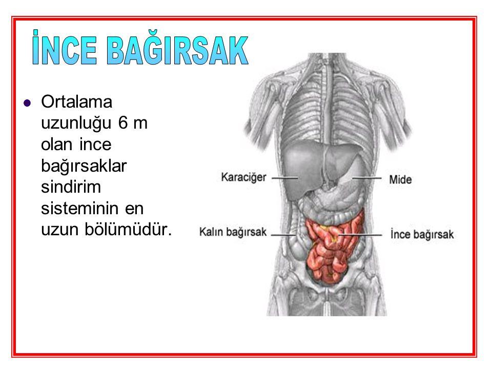 İNCE BAĞIRSAK Ortalama uzunluğu 6 m olan ince bağırsaklar sindirim sisteminin en uzun bölümüdür.