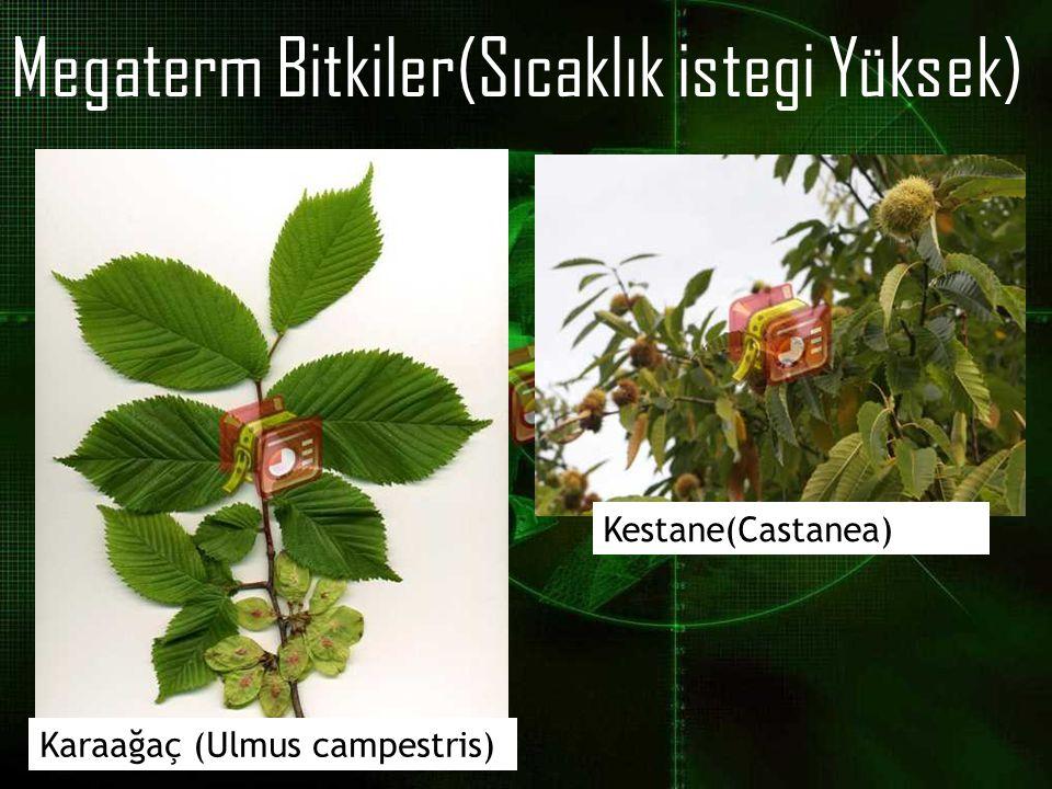 Megaterm Bitkiler(Sıcaklık istegi Yüksek)