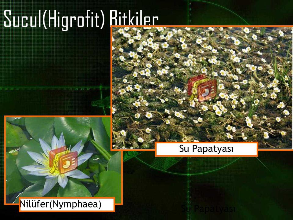 Sucul(Higrofit) Bitkiler