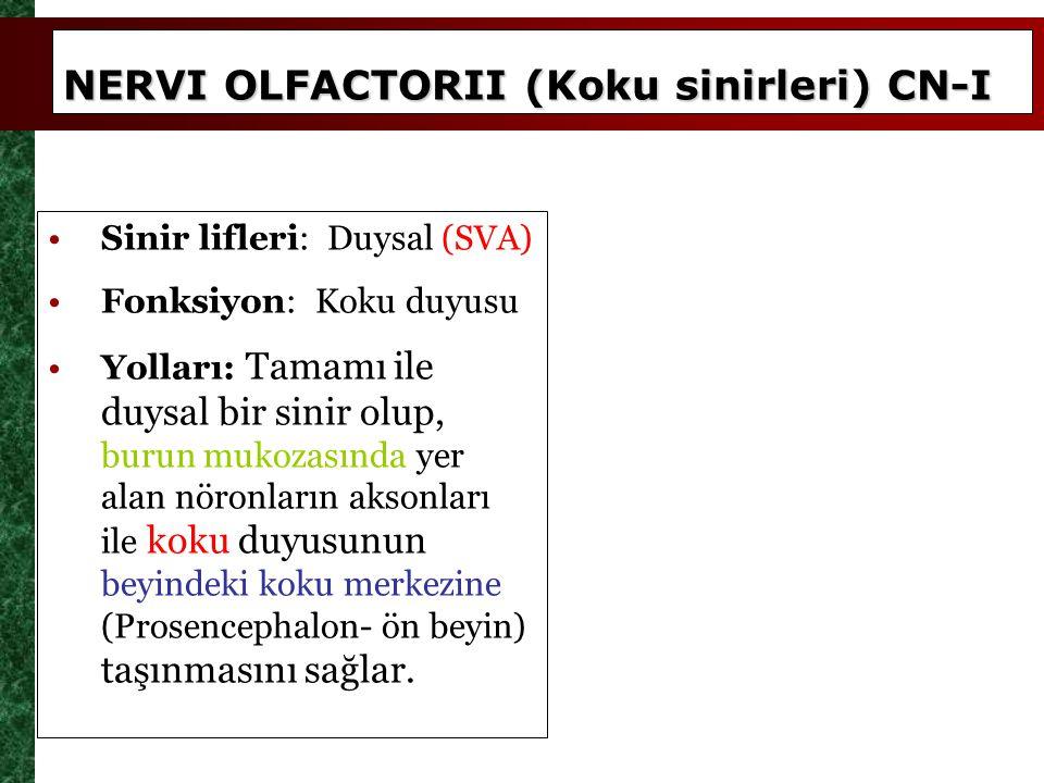 NERVI OLFACTORII (Koku sinirleri) CN-I