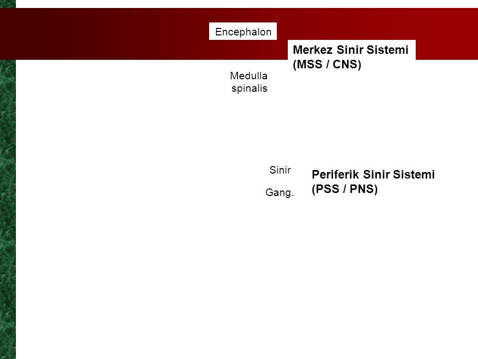 Merkez Sinir Sistemi (MSS / CNS)
