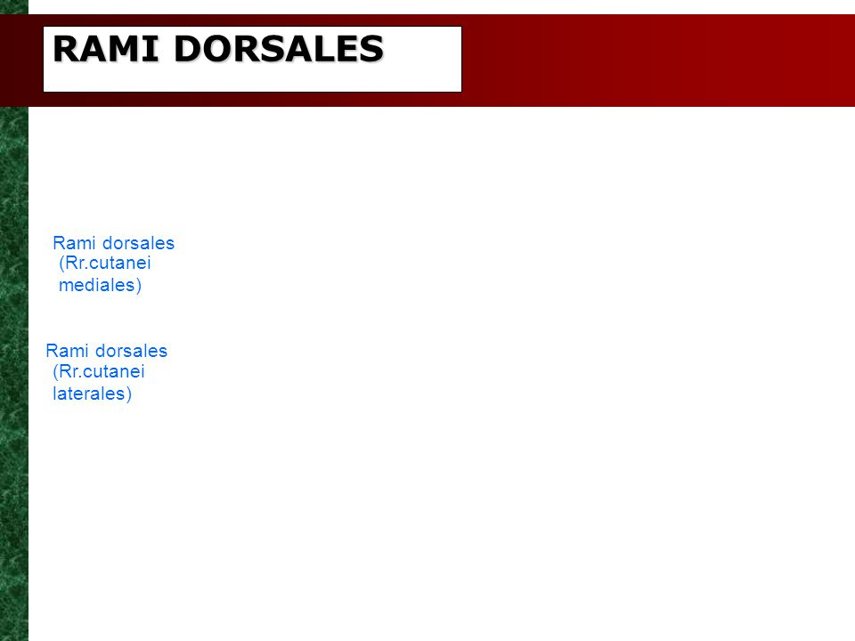 RAMI DORSALES Rami dorsales (Rr.cutanei mediales) Rami dorsales