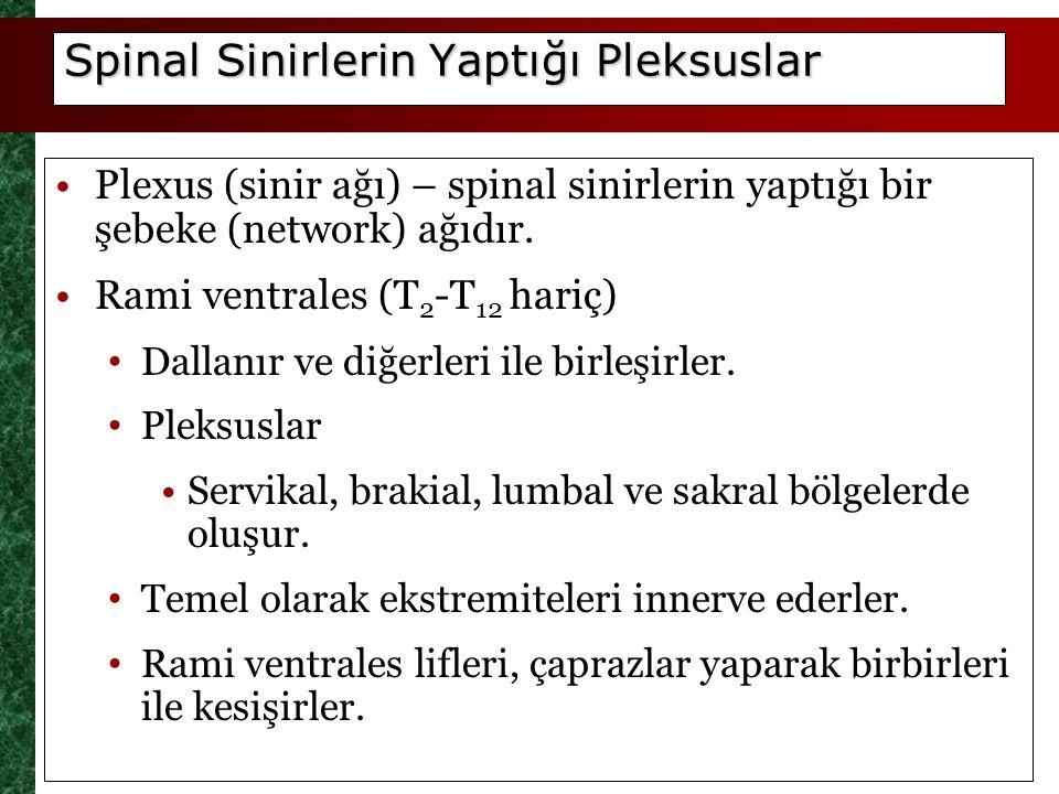 Spinal Sinirlerin Yaptığı Pleksuslar