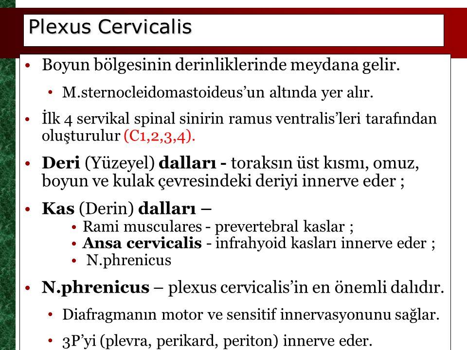Plexus Cervicalis Boyun bölgesinin derinliklerinde meydana gelir.