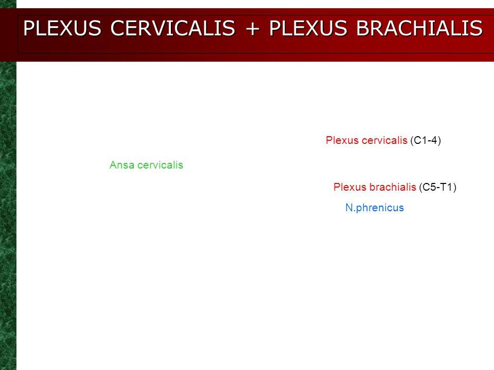 PLEXUS CERVICALIS + PLEXUS BRACHIALIS