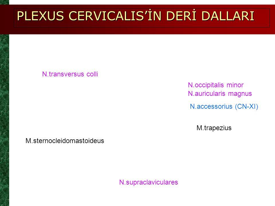 PLEXUS CERVICALIS'İN DERİ DALLARI
