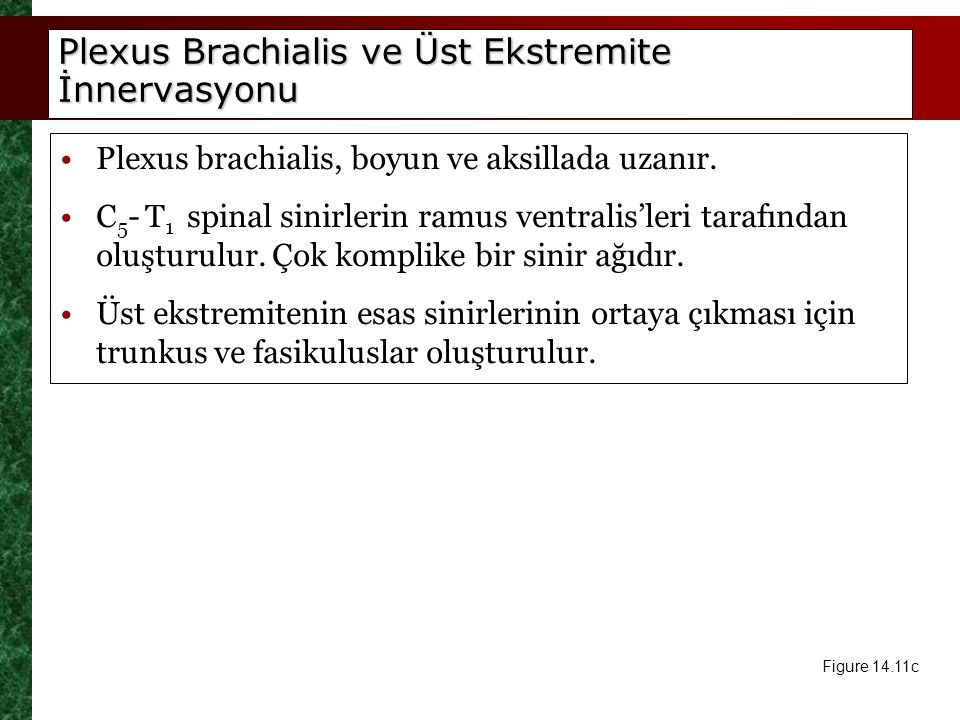 Plexus Brachialis ve Üst Ekstremite İnnervasyonu