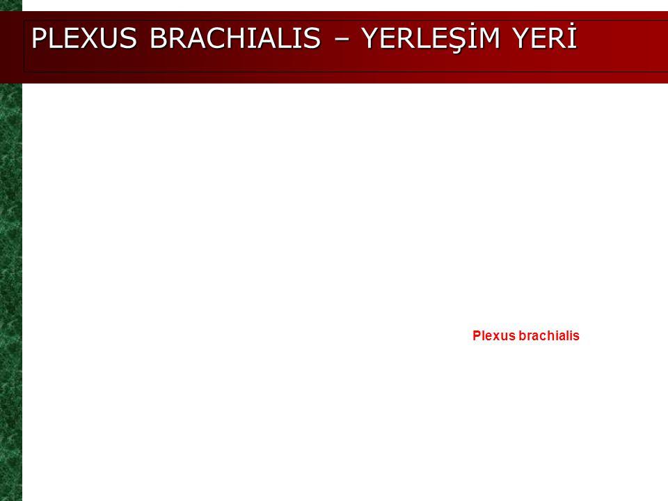 PLEXUS BRACHIALIS – YERLEŞİM YERİ