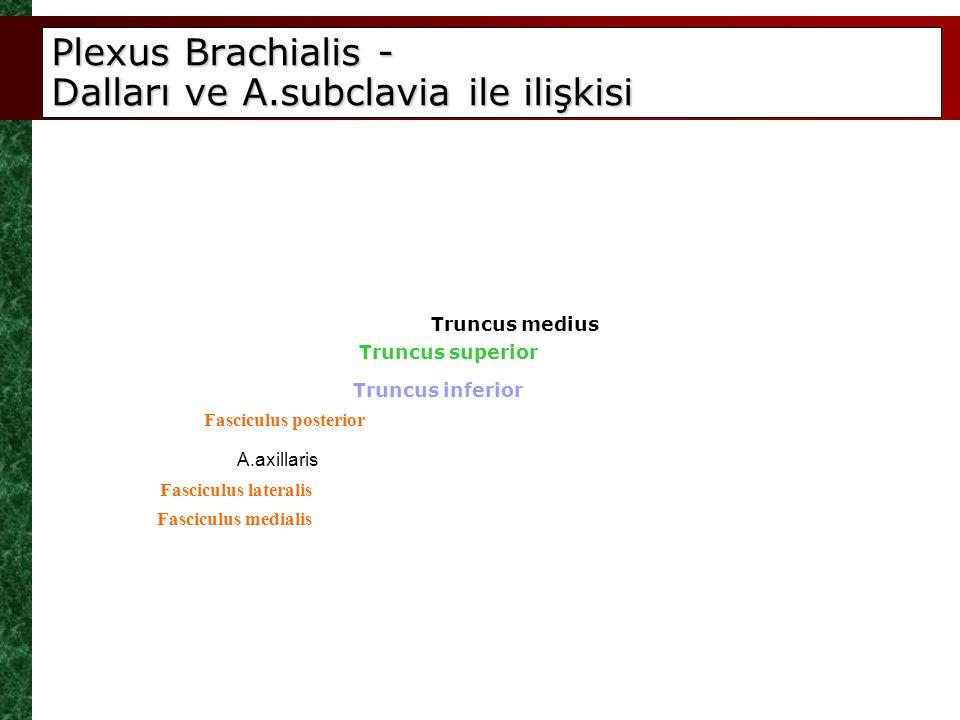 Plexus Brachialis - Dalları ve A.subclavia ile ilişkisi