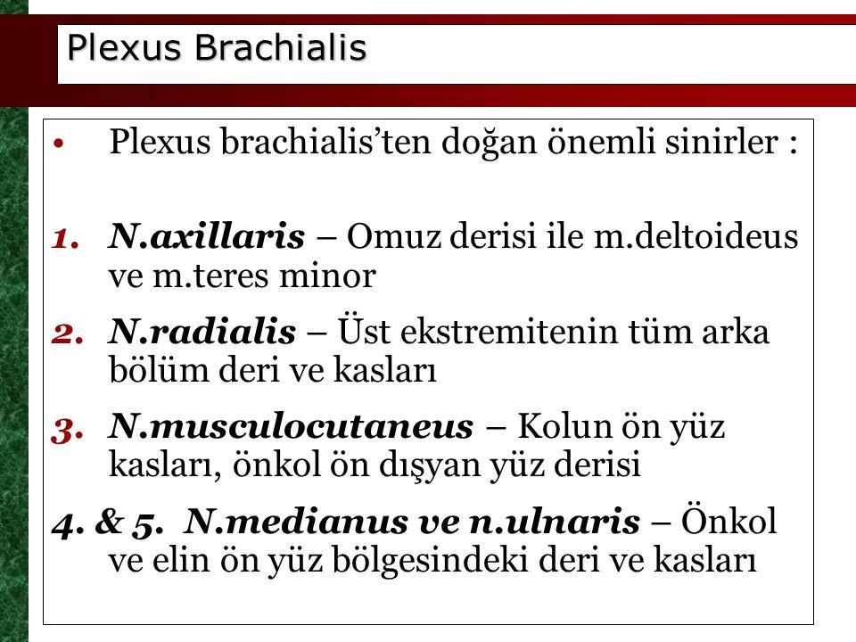 Plexus Brachialis Plexus brachialis'ten doğan önemli sinirler : N.axillaris – Omuz derisi ile m.deltoideus ve m.teres minor.