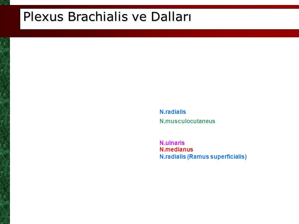 Plexus Brachialis ve Dalları