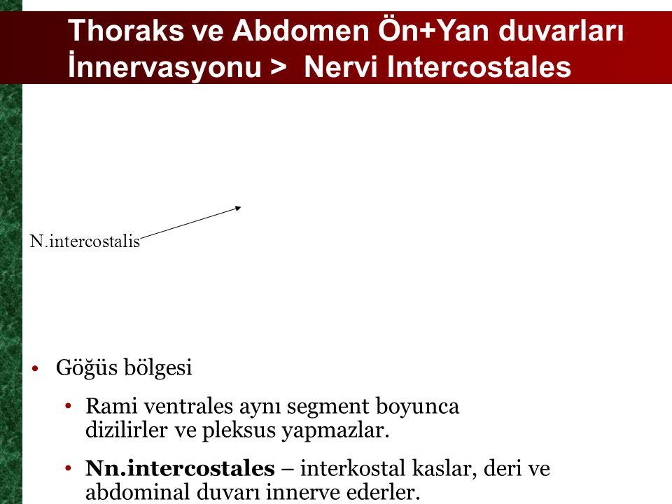 Thoraks ve Abdomen Ön+Yan duvarları İnnervasyonu > Nervi Intercostales