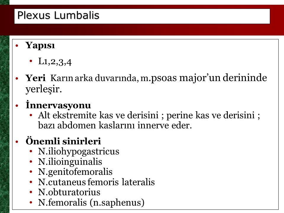 Plexus Lumbalis Yapısı. L1,2,3,4. Yeri Karın arka duvarında, m.psoas major'un derininde yerleşir.