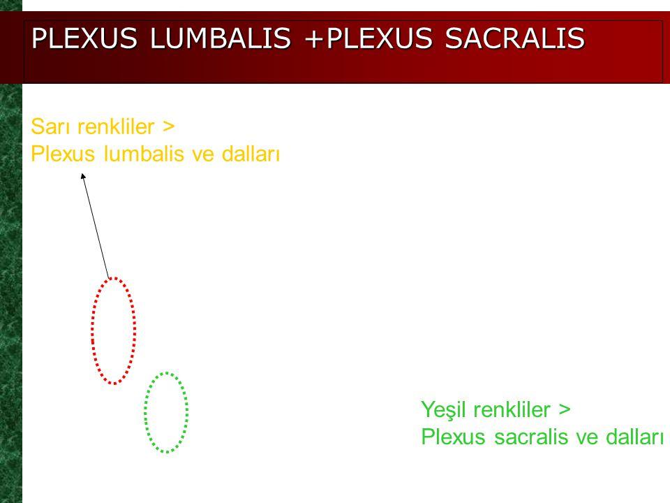 PLEXUS LUMBALIS +PLEXUS SACRALIS