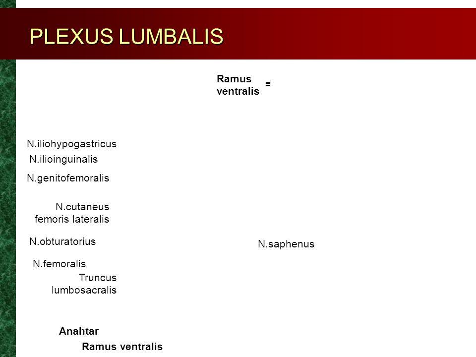 PLEXUS LUMBALIS Ramus ventralis N.iliohypogastricus N.ilioinguinalis