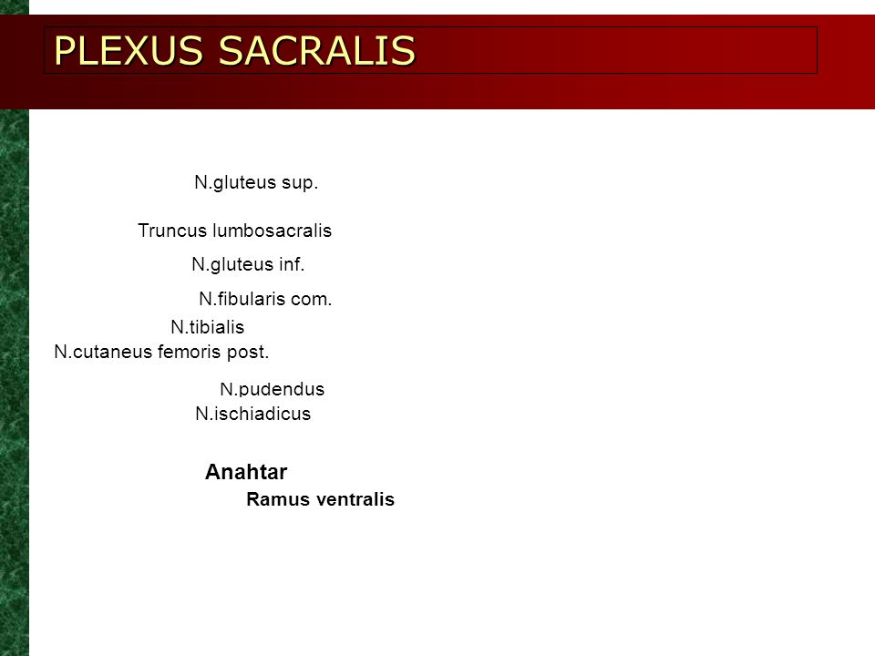 PLEXUS SACRALIS Anahtar N.gluteus sup. Truncus lumbosacralis