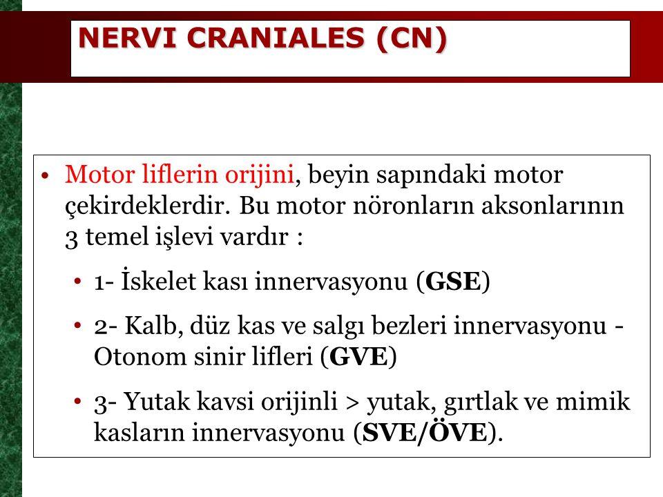 NERVI CRANIALES (CN) Motor liflerin orijini, beyin sapındaki motor çekirdeklerdir. Bu motor nöronların aksonlarının 3 temel işlevi vardır :
