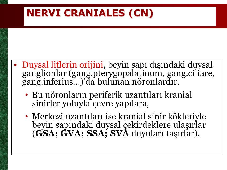 NERVI CRANIALES (CN)