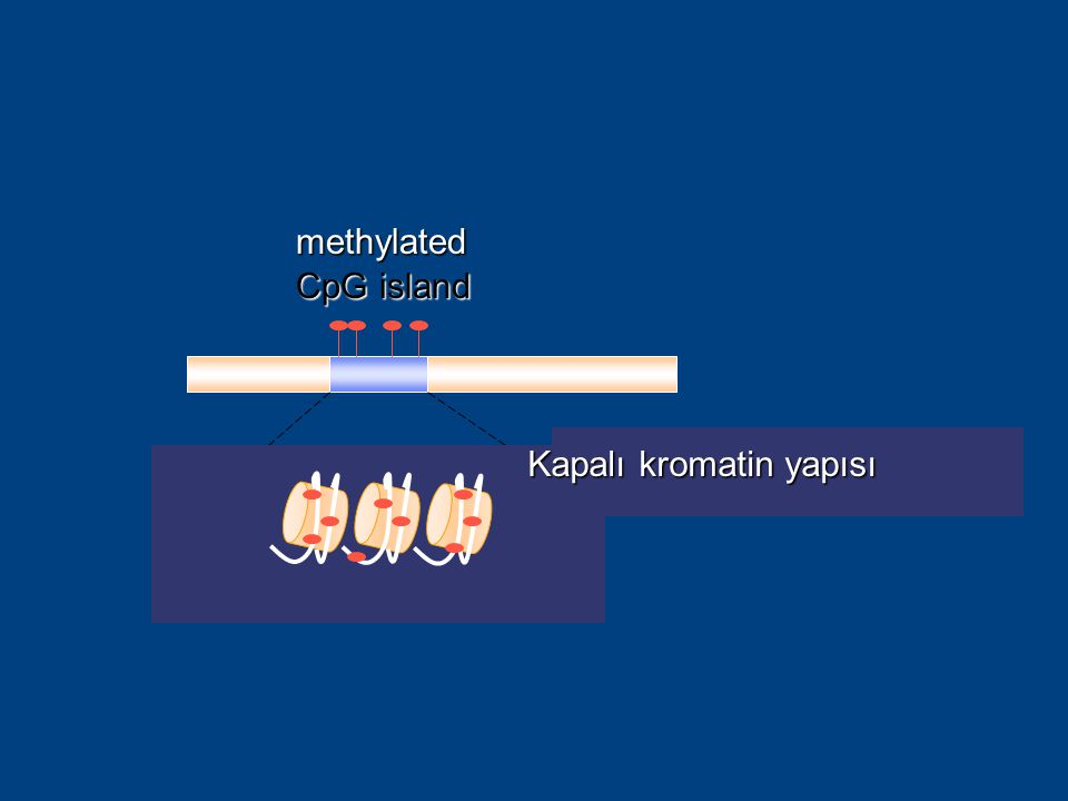 methylated CpG island relaxed chromatin structure of a nonimprinted gene Kapalı kromatin yapısı