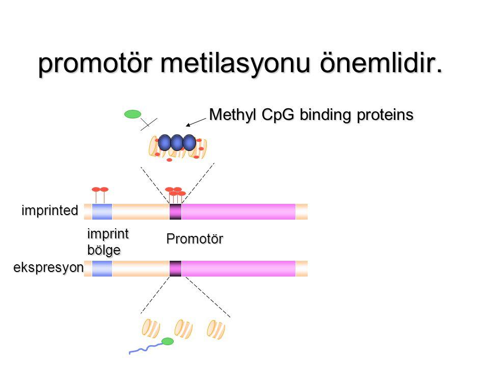 promotör metilasyonu önemlidir.
