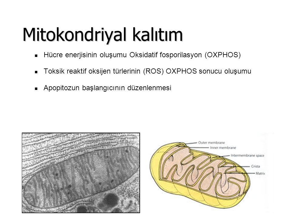 Mitokondriyal kalıtım
