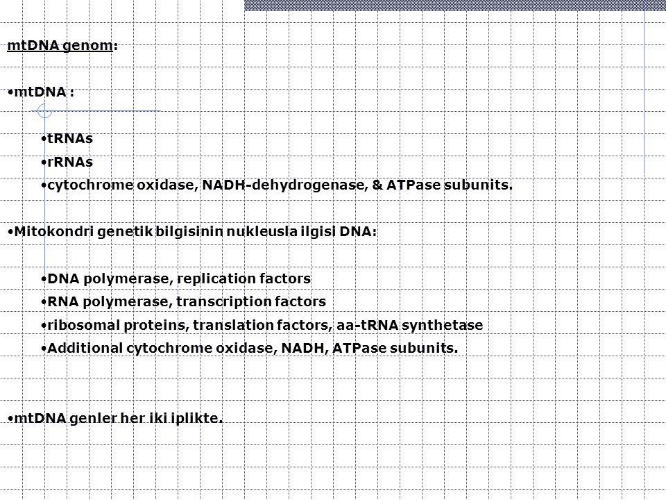 mtDNA genom: mtDNA : tRNAs. rRNAs. cytochrome oxidase, NADH-dehydrogenase, & ATPase subunits. Mitokondri genetik bilgisinin nukleusla ilgisi DNA: