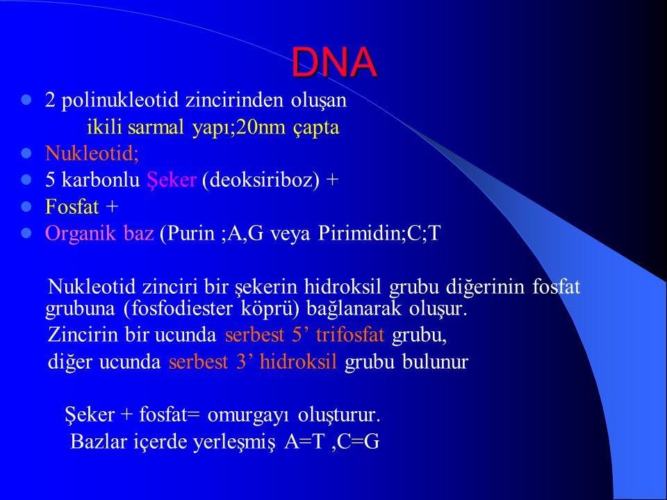 DNA 2 polinukleotid zincirinden oluşan ikili sarmal yapı;20nm çapta