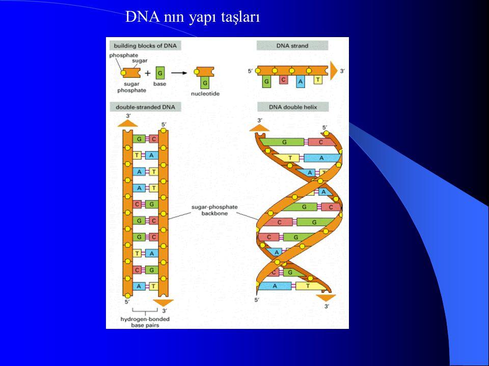 DNA nın yapı taşları