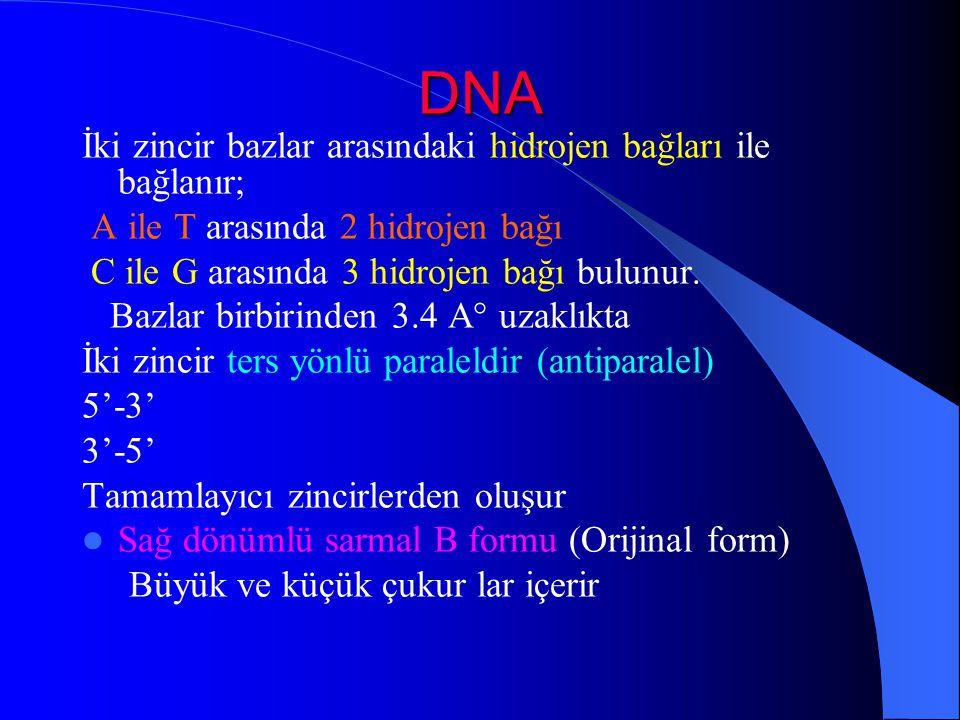 DNA İki zincir bazlar arasındaki hidrojen bağları ile bağlanır;